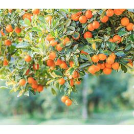 Апельсиновый край